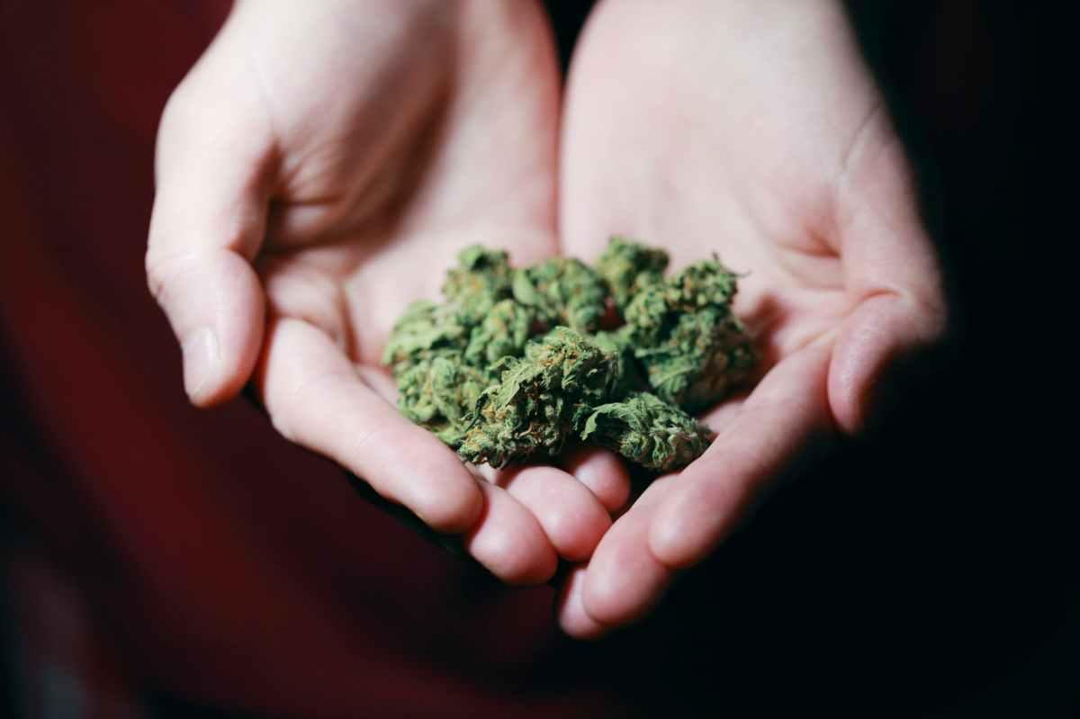 Cupped hands holding marijuana buds